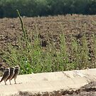 "Burrowing Owls ""The Three Amigos"" by Sherry Pundt"