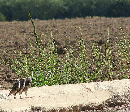 """Burrowing Owls """"The Three Amigos"""" by Sherry Pundt"""
