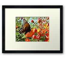 Butterfly ~ Pipevine Swallowtail II Framed Print