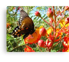 Butterfly ~ Pipevine Swallowtail II Canvas Print