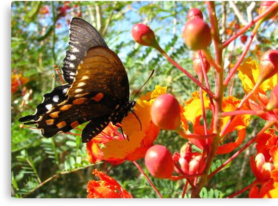 Butterfly ~ Pipevine Swallowtail II by Kimberly Chadwick