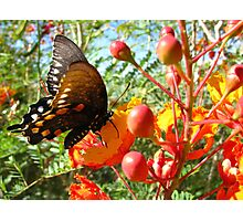 Butterfly ~ Pipevine Swallowtail II Photographic Print