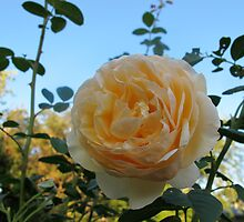 Apricot Blush Rose by MarianBendeth