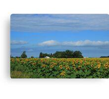 Sunflower Field on the Prairies Canvas Print