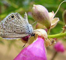 Butterfly ~ Marine Blue by Kimberly Chadwick