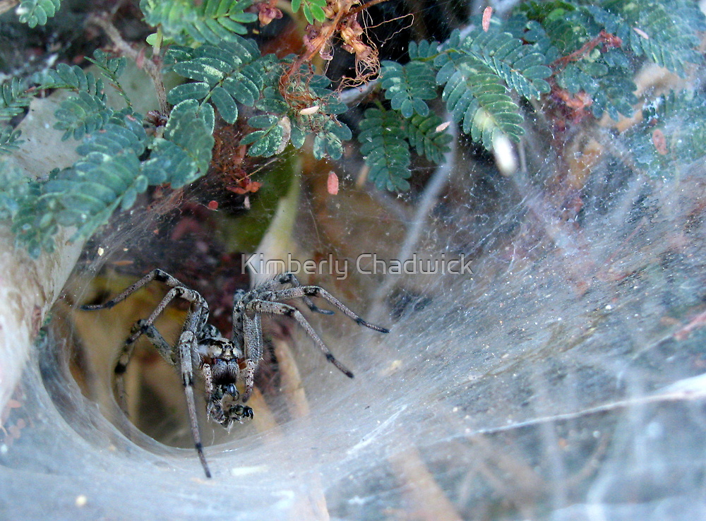 Funnel Web Spider by Kimberly Chadwick