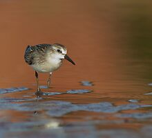 Least Sandpiper by Wayne Wood