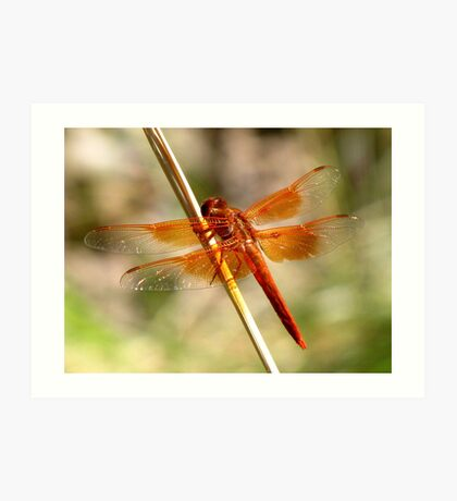 Dragonfly ~ Flame Skimmer (Male) Art Print