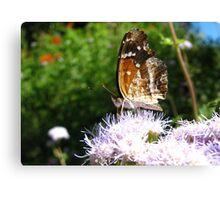 Butterfly ~ Texan Crescent Canvas Print