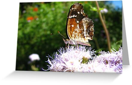 Butterfly ~ Texan Crescent by Kimberly Chadwick