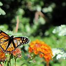 Butterfly ~ Monarch Butterfly by Kimberly Chadwick