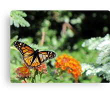 Butterfly ~ Monarch Butterfly Canvas Print