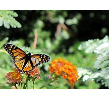 Butterfly ~ Monarch Butterfly Photographic Print