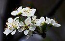 White Blossoms by Evita