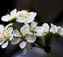 White Blossoms by Evita