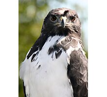 Bad Feather Day - African Augur Buzzard Photographic Print