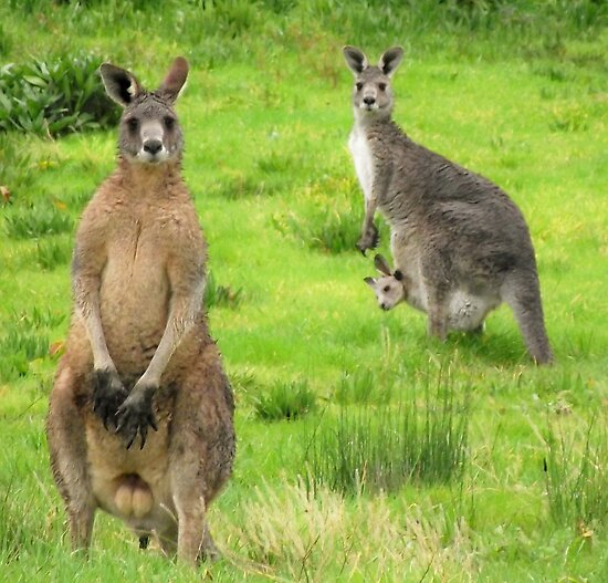 soggy kangaroos by Peta Hurley-Hill