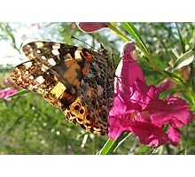 Butterfly ~ Painted Lady Photographic Print