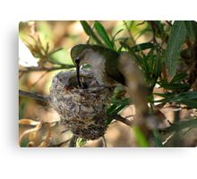 Costa's Hummingbirds  ~ 3 days old ~ 2nd series Canvas Print