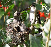 Costa's Hummingbird ~ More Mommy! by Kimberly Chadwick