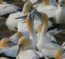 Cape Gannets by naturalnomad