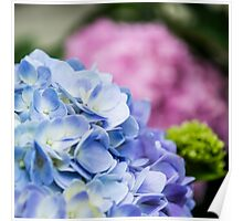Blue and Pink Hydrangeas Poster
