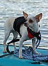 Chihuahua and the Boating Safety Message (in Color) by Corri Gryting Gutzman