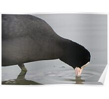 Coot having a drink Poster
