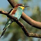 Colourful Bird by Robert Abraham