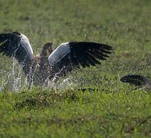 Egyptian Goose fights with Nile Monitor on an island in the Chobe River near Kasane by Neville Jones