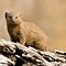 (Land Mammals Category) - Family - Herpestidae - Mongoose Family