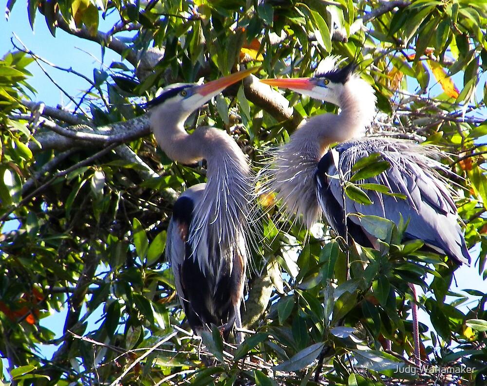 Nesting Great Blue Herons by Judy Wanamaker