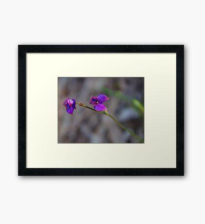 Elythranthera brunoris - Purple enamel orchid Framed Print