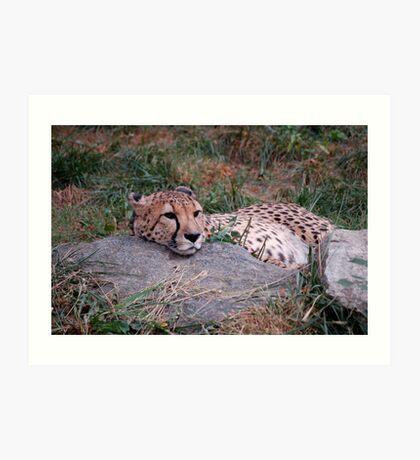 Cheetah nap Art Print