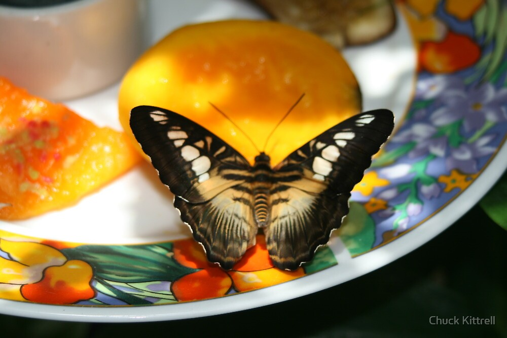Butterfly on fruit plate-Key West Conservatory by Chuck Kittrell