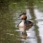 Great Crested Grebe by Nigel Bangert