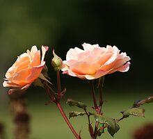 ROSA - Hybrid tea rose by cagunique