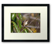 Red-backed Fairy Wren (Female) Framed Print