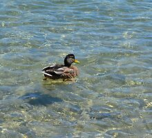 Cute wild duck in clear water lake. by naturematters