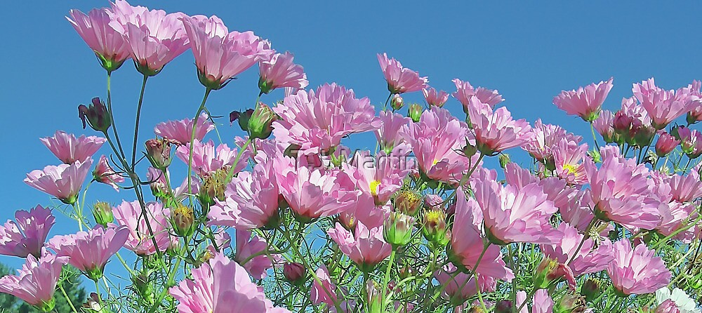 Pink Cosmos - Blue Sky by T.J. Martin