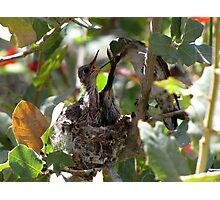 Costa's Hummingbird ~ Growing Still..... Photographic Print