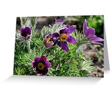 Pasque Flower - Pulsatilla vulgaris Greeting Card