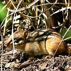 Eastern Chipmunk, Alvin! by patti4glory