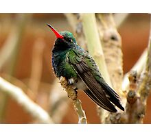 Broad-billed Hummingbird ~ Male Photographic Print