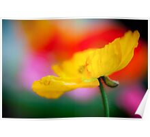 Rainbow of Poppies Poster