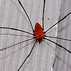 Daddy Long Legs - Harvestman by patti4glory