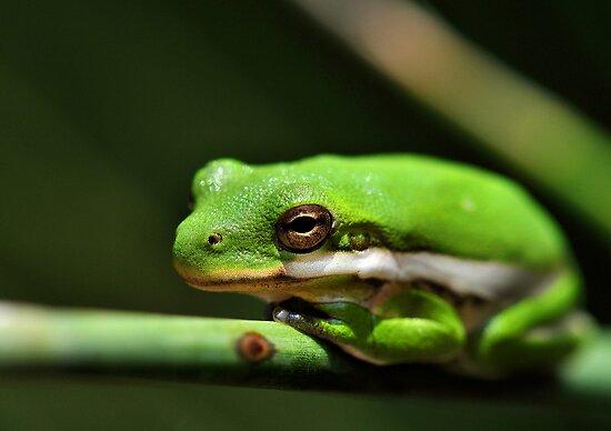 """American Green Tree Frog"" by Dennis Stewart | Redbubble"