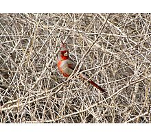 Pyrrhuloxia ~ Male Photographic Print