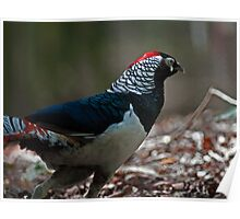Lady Amherst Pheasant  Poster
