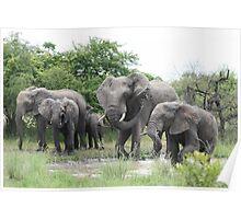 Elephants Kruger Park  Poster